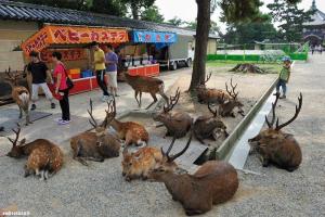 В каком городе в Японии запрещено законом убивать оленей?